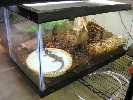 salamandra-mascota