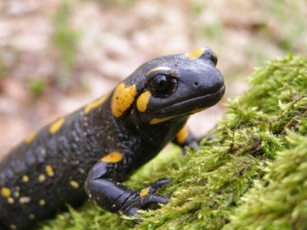 salamandra2