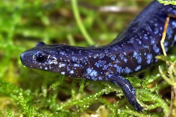 salamandra7