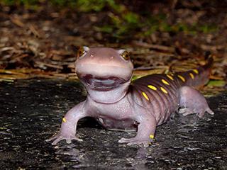 salamandra8